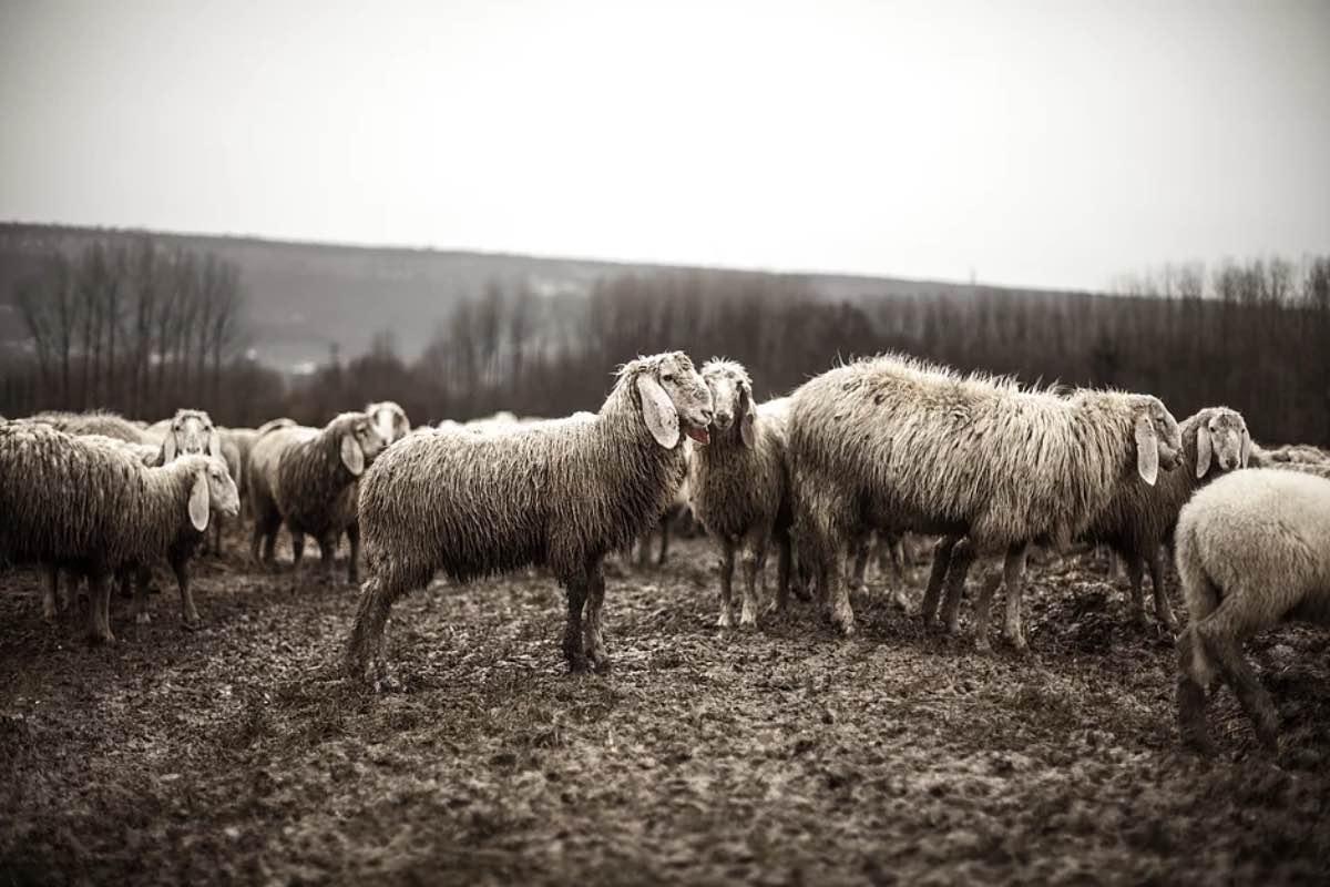 Ovelhas sujas em terreno seco e árido