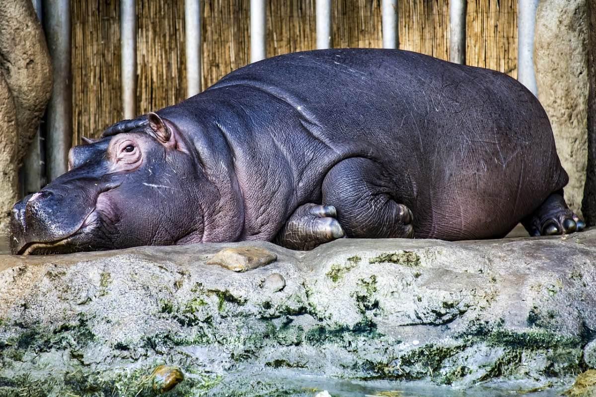 Hipopótamo deitado a descansar